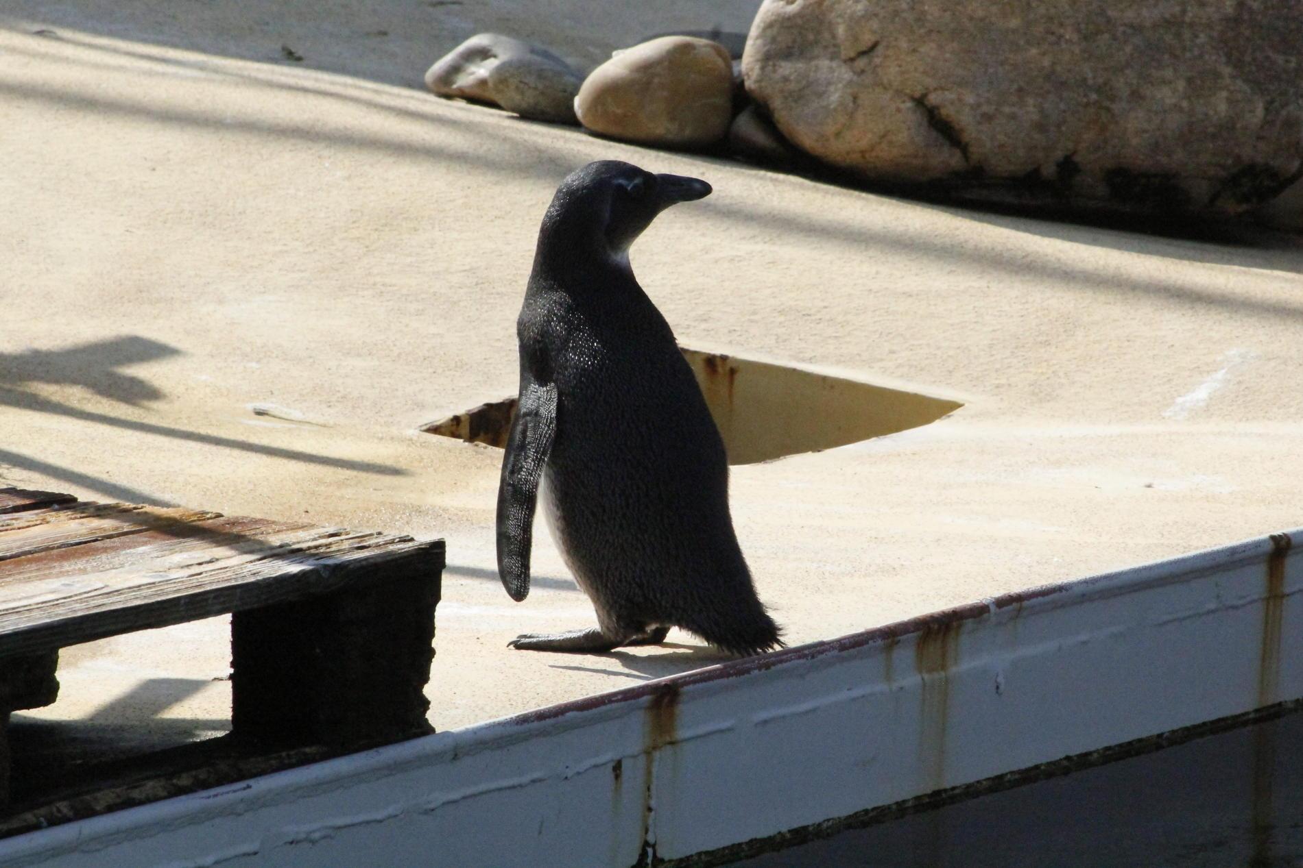 Pinguin schaut sich um